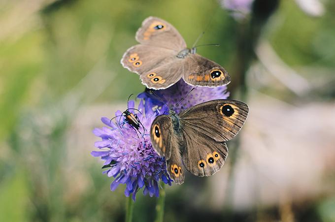 Через кліматичну кризу у США різко знизилася популяція метеликів