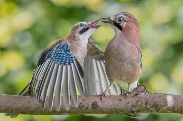 У США з нез'ясовних причин масово гинуть співочі птахи